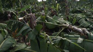 બારડોલી સહીત સમગ્ર જિલ્લામાં ભારે પવન સાથે વરસાદ,કેળનો પાક નિષ્ફળ