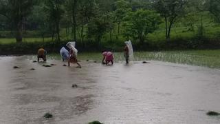 સુરતઃ વાવણીલાયક વરસાદ પછી મેઘરાજાના લાંબા વિરામથી ખેડૂતોમાં અકળામણ વધી