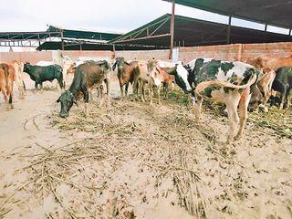 વિરમગામ પાંજરાપોળમાં ગાયોના મોત