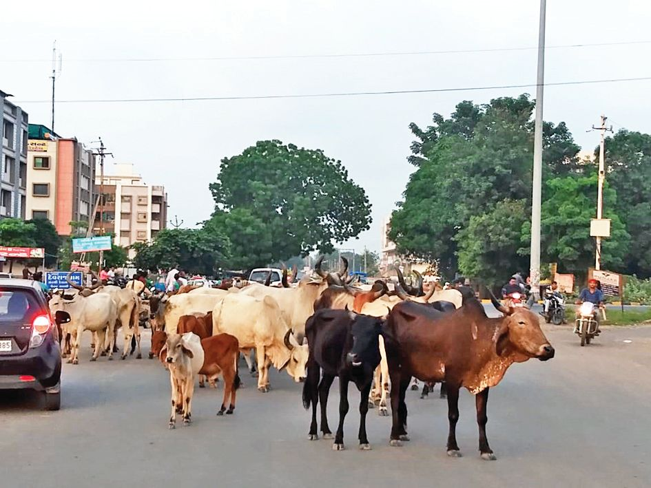 Urban disturbed by stray cattle in Modasa city