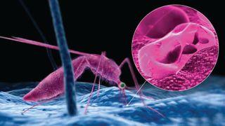 મેલેરિયાનું સંક્રમણ થતા તે રક્તકોશિકા મારફતે શરીરના બધા જ અંગોમાં પ્રસરે છે
