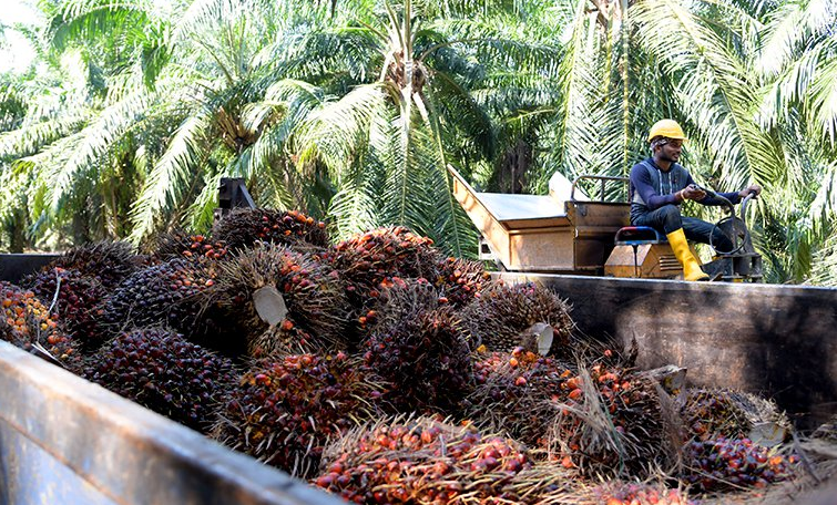 Indian buyers slash Malaysian palm oil purchases fearing duty hike: Traders