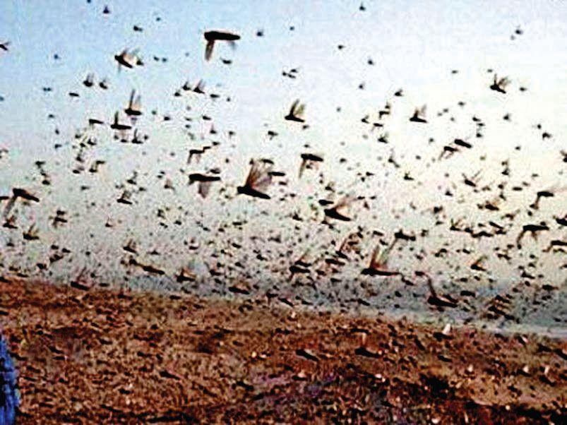 Locusts appear in Medaadraj-Phuletra of Kadi taluka