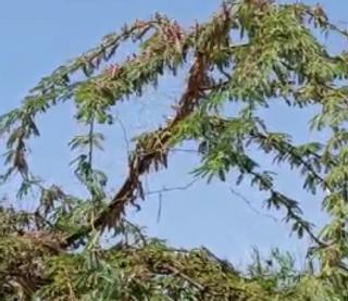આણંદ જિલ્લામાં તીડનો હુમલો થવાની સંભાવના, ખેડૂતો ચિંતિત
