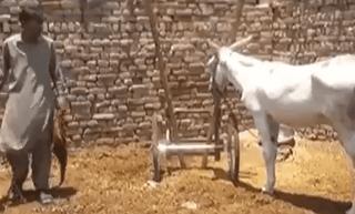 પાકિસ્તાનમાં જુગાર રમવાના આરોપમાં ગધેડાની ધરપકડ