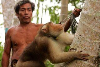 થાઇલેન્ડમાં નાળિયેર તોડવા માટે વાંદરાઓના ઉપયોગ વિરુદ્ધ બ્રિટને તેના ઉત્પાદનો પર પ્રતિબંધ મુક્યો