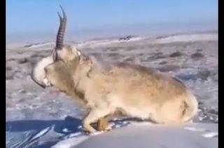 કઝાકિસ્તાનમાં બરફમાં થીજી મૃત પામ્યા પ્રાણીઓ !
